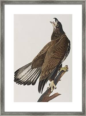 White-headed Eagle Framed Print by John James Audubon