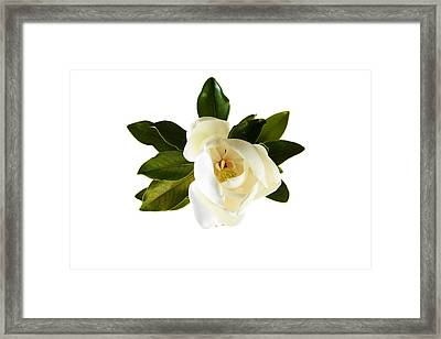 White Magnolia Flower And Leaves Isolated On White  Framed Print by Michael Ledray