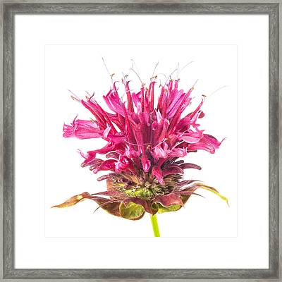 Wild Bergamot Also Known As Bee Balm Framed Print by Jim Hughes