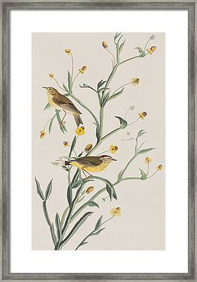 Yellow Red-poll Warbler Framed Print by John James Audubon