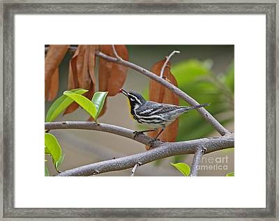 Yellow-throated Warbler Framed Print by Neil Bowman/FLPA