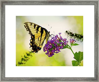 Yellow Tiger Swallowtail Butterfly Framed Print by Carol F Austin