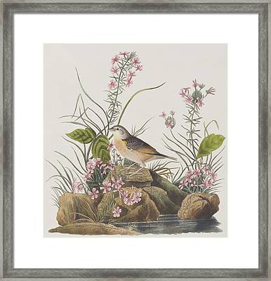 Yellow-winged Sparrow Framed Print by John James Audubon