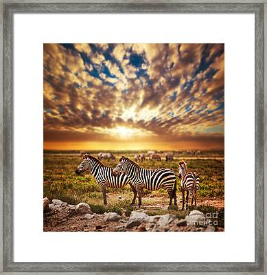 Zebras Herd On African Savanna At Sunset. Framed Print by Michal Bednarek