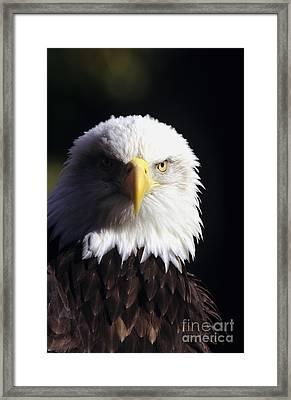 Bald Eagle Framed Print by John Hyde - Printscapes