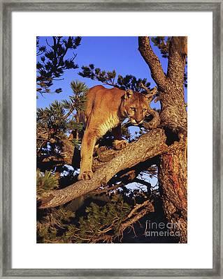 Mountain Lion Framed Print by Dennis Hammer