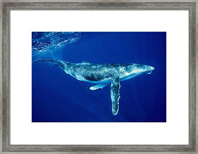 Humpback Whale Framed Print by Alexis Rosenfeld