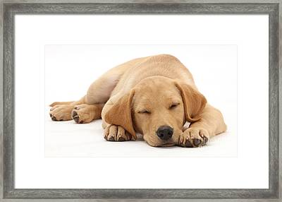 Yellow Labrador Retriever Puppy Framed Print by Mark Taylor