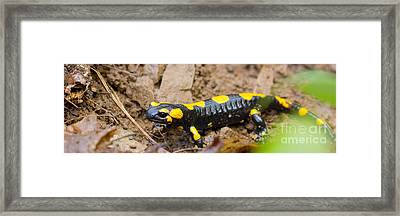Fire Salamander Framed Print by Jivko Nakev