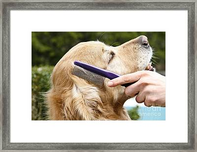 Dog Grooming Framed Print by Photo Researchers Inc