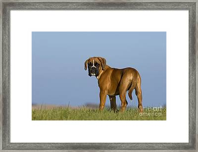 Boxer Puppy Framed Print by Jean-Louis Klein & Marie-Luce Hubert