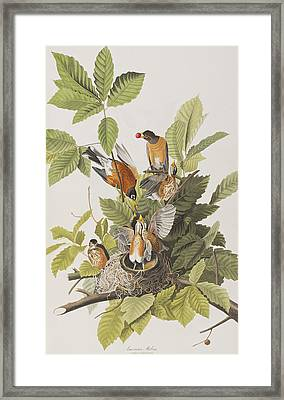 American Robin Framed Print by John James Audubon