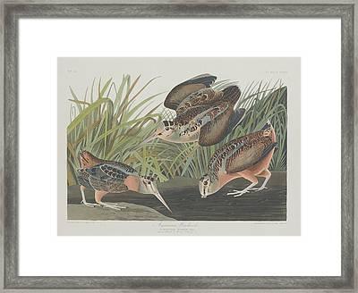 American Woodcock Framed Print by John James Audubon