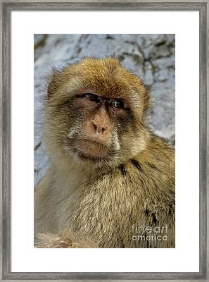 Barbary Macaque Looking Away In Annoyance Framed Print by Sami Sarkis