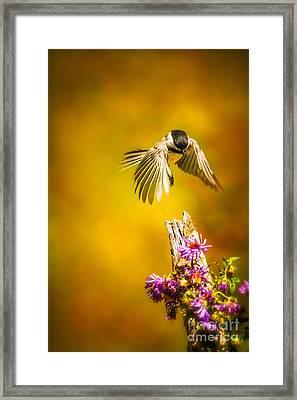 Black Capped Chickadee Framed Print by Todd Bielby