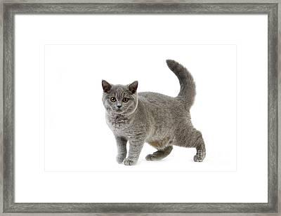 Blue British Shorthair Cat Framed Print by Gerard Lacz