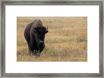 Buffalo Framed Print by Juli Scalzi