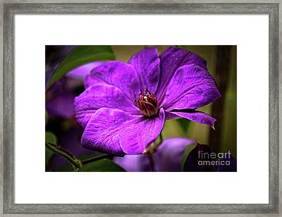 Clematis Framed Print by Robert Bales