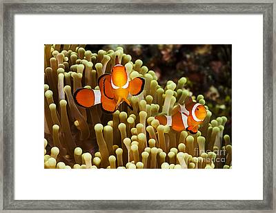 Clown Anemonefish Framed Print by Dave Fleetham - Printscapes