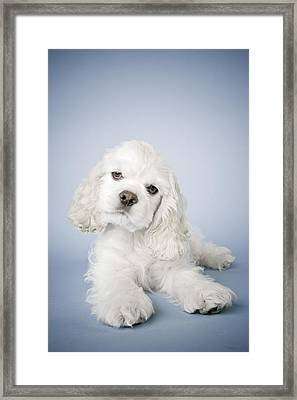 Cocker Spaniel Framed Print by David DuChemin