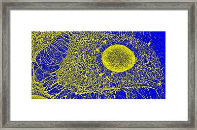 Cytoskeleton, Sem Framed Print by