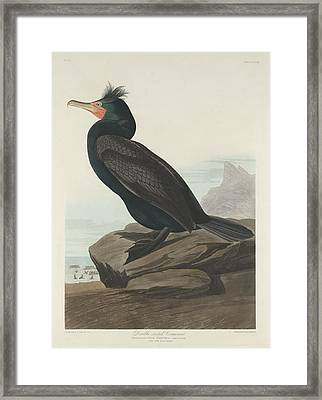 Double-crested Cormorant Framed Print by John James Audubon