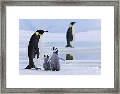 Emperor Penguins And Chicks Framed Print by Jean-Louis Klein & Marie-Luce Hubert
