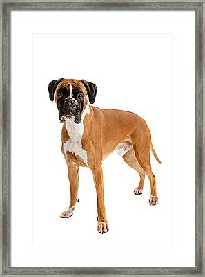 Fawn-colored Boxer Framed Print by Boyan Dimitrov