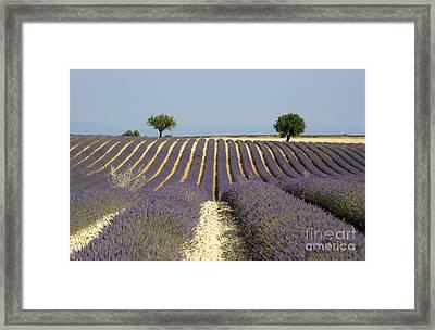 Field Of Lavender. Provence Framed Print by Bernard Jaubert