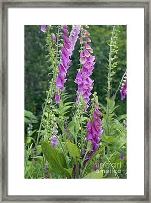 Foxglove Flowering Framed Print by Inga Spence