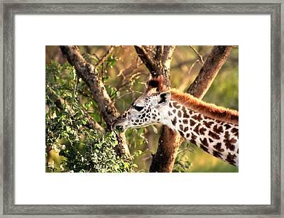 Giraffe Framed Print by Sebastian Musial