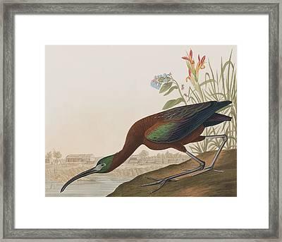 Glossy Ibis Framed Print by John James Audubon