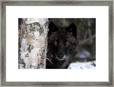 Gray Wolf Framed Print by Jean-Louis Klein & Marie-Luce Hubert