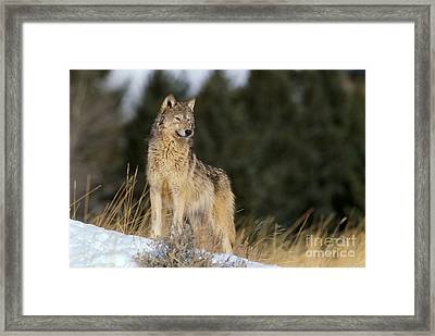 Gray Wolf Framed Print by John Hyde - Printscapes