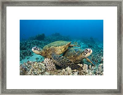 Green Sea Turtles Framed Print by Dave Fleetham - Printscapes