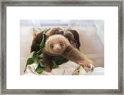 Hoffmanns Two-toed Sloth Choloepus Framed Print by Suzi Eszterhas