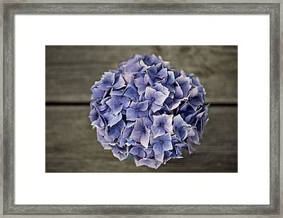 Hortensia Flowers Framed Print by Nailia Schwarz