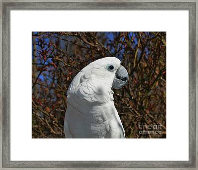 Katherine The Umbrella Cockatoo Framed Print by Eileen Parker