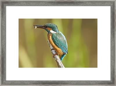 Kingfisher Framed Print by Paul Neville