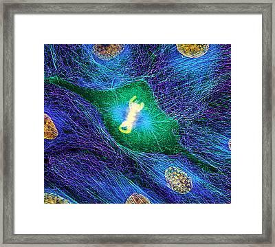 Mitosis Framed Print by Dr Torsten Wittmann