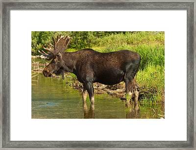 Moose Framed Print by Sebastian Musial