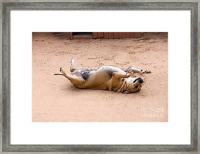 Obese Dog Framed Print by Gerard Lacz
