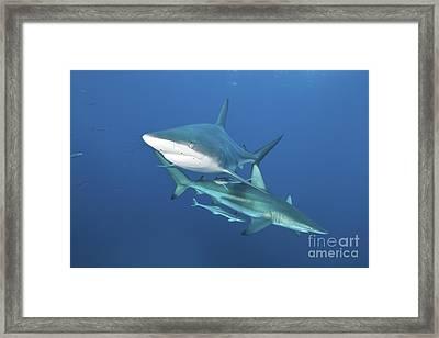 Oceanic Blacktip Sharks With Remora Framed Print by Mathieu Meur