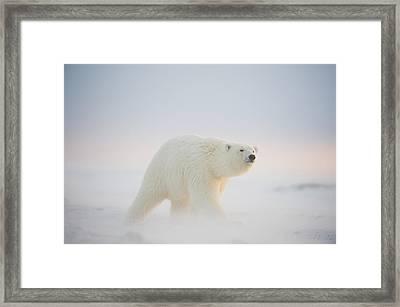 Polar Bear  Ursus Maritimus , Young Framed Print by Steven Kazlowski