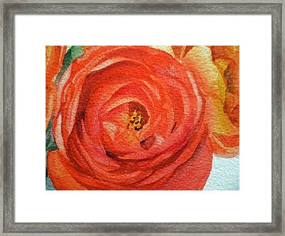Ranunculus Close Up Framed Print by Irina Sztukowski