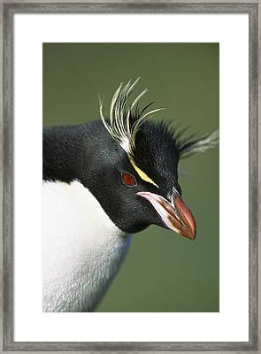 Rockhopper Penguin Eudyptes Chrysocome Framed Print by Tui De Roy