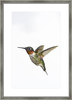 Ruby-throated Hummingbird Archilochus Framed Print by Thomas Kitchin & Victoria Hurst
