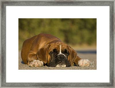 Sleepy Boxer Puppy Framed Print by Jean-Louis Klein & Marie-Luce Hubert