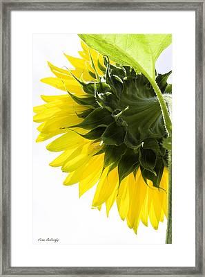Sunflower Framed Print by Fran Gallogly