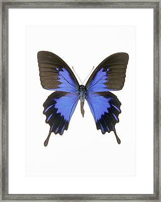 Swallowtail Butterfly Framed Print by Lawrence Lawry
